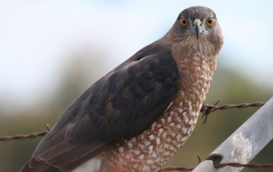 Cooper's Hawk HD Desktop