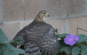 Cooper's Hawk HD Wallpaper