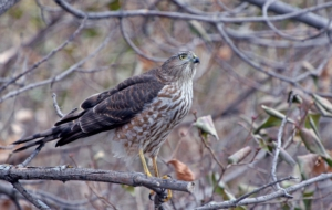Cooper's Hawk For Desktop
