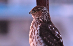 Cooper's Hawk Full HD
