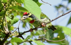 Coppersmith Barbet 4K
