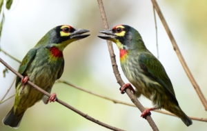 Coppersmith Barbet Background