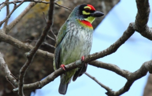 Coppersmith Barbet Computer Backgrounds