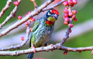 Coppersmith Barbet Computer Wallpaper