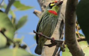 Coppersmith Barbet Desktop