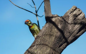 Coppersmith Barbet Desktop Images