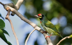 Coppersmith Barbet Desktop Wallpaper