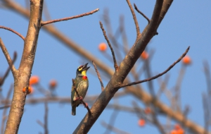 Coppersmith Barbet Download Free Backgrounds HD
