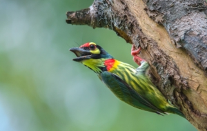 Coppersmith Barbet HD