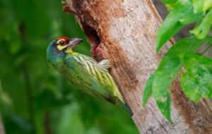 Coppersmith Barbet HD Background