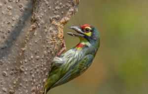 Coppersmith Barbet HD Desktop