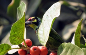 Coppersmith Barbet HD Wallpaper