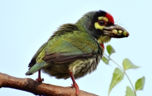 Coppersmith Barbet For Desktop