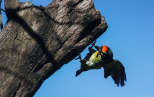 Coppersmith Barbet For Desktop Background