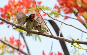 Coppersmith Barbet Full HD