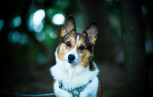 Corgi Widescreen