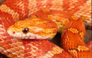 Corn Snake Background