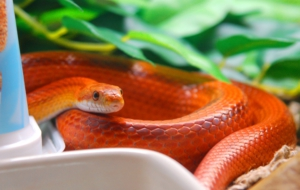 Corn Snake HD Background