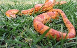 Corn Snake HD Wallpaper