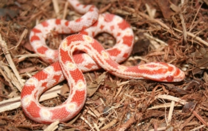 Corn Snake High Definition Wallpapers