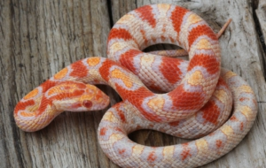 Corn Snake Wallpaper