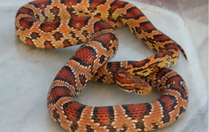 Corn Snake Wallpapers HD