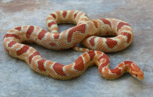 Corn Snake Widescreen