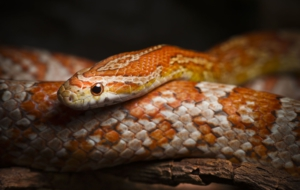 Corn Snake Full HD