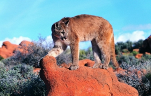 Cougar Background