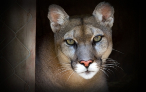 Cougar Desktop Images