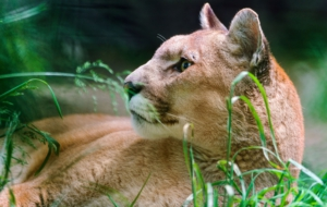 Cougar HD Background