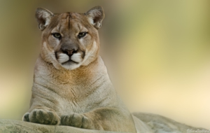 Cougar High Definition