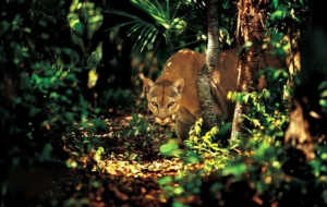Cougar Photos