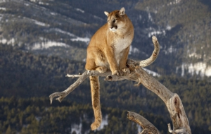 Cougar Wallpaper For Laptop