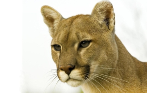 Cougar Wallpapers And Backgrounds