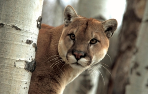 Cougar Widescreen