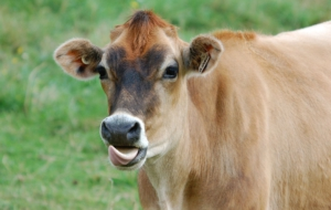Cow High Definition Wallpapers