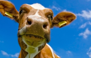Cow Wallpapers HD