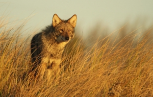 Coyote High Definition Wallpapers