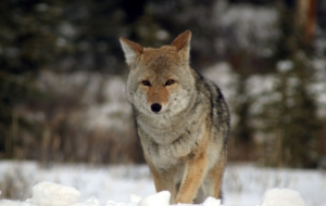 Coyote Images