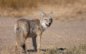 Coyote Full HD