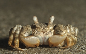 Crab Widescreen