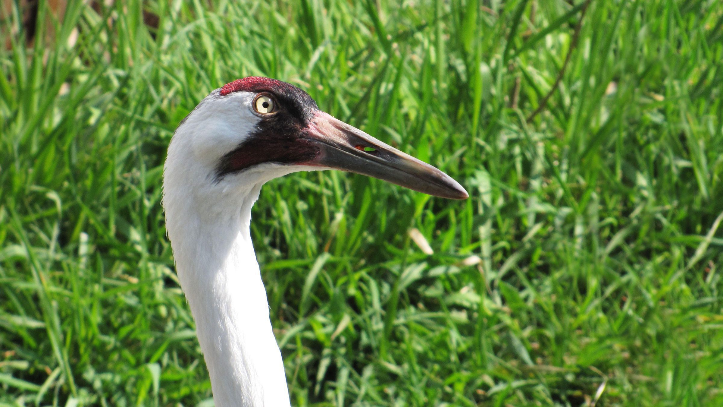 whooping crane the most famous endangered bird in north america The whooping crane is the most famous endangered bird in north america  is the tallest north american bird  the adult whooping crane is an imposing bird,.