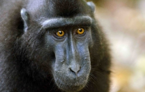 Crested Black Macaque Background