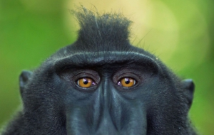 Crested Black Macaque High Definition Wallpapers