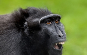 Crested Black Macaque High Quality Wallpapers