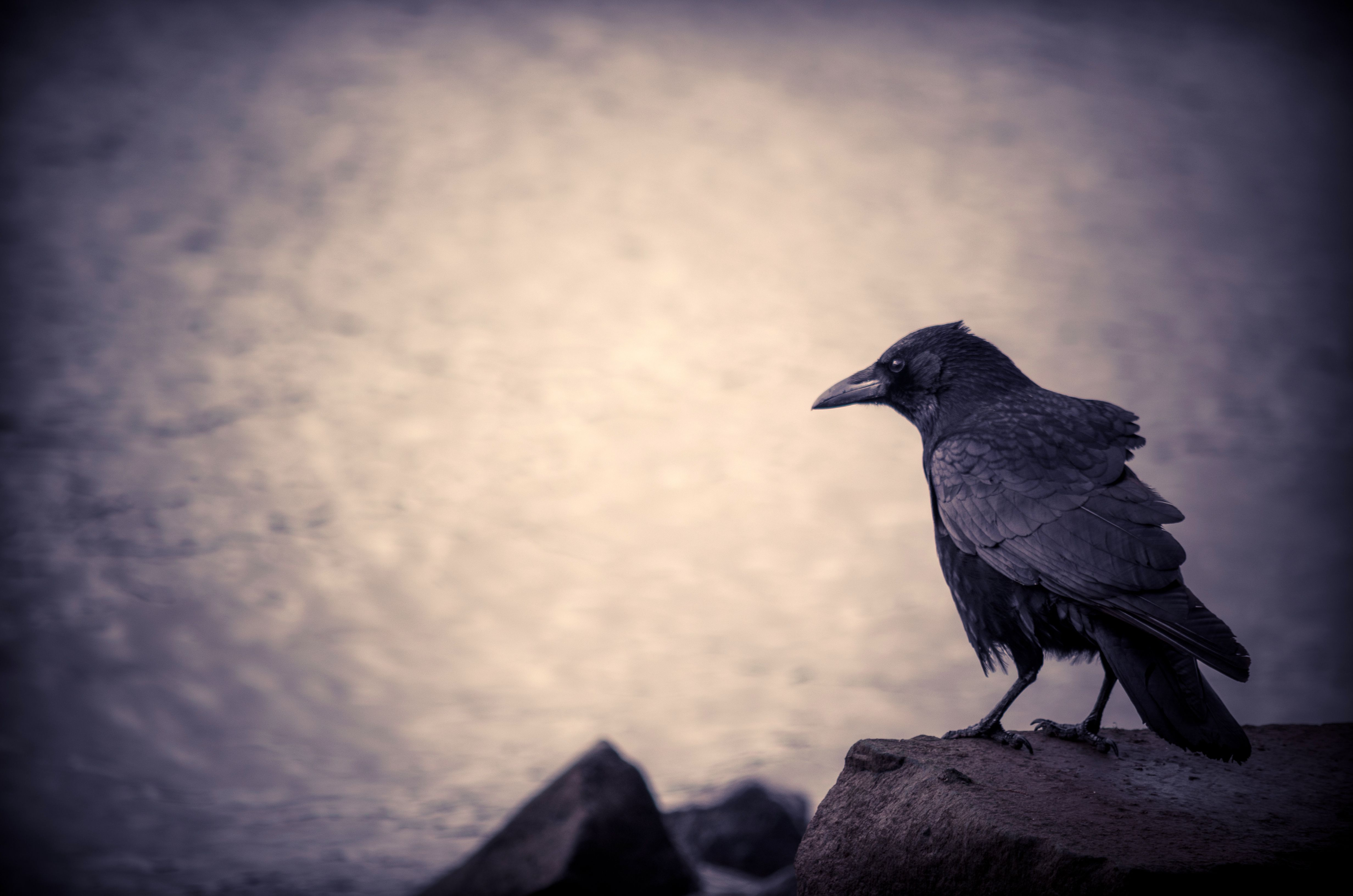 crow wallpapers backgrounds
