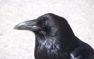 Crow Photos