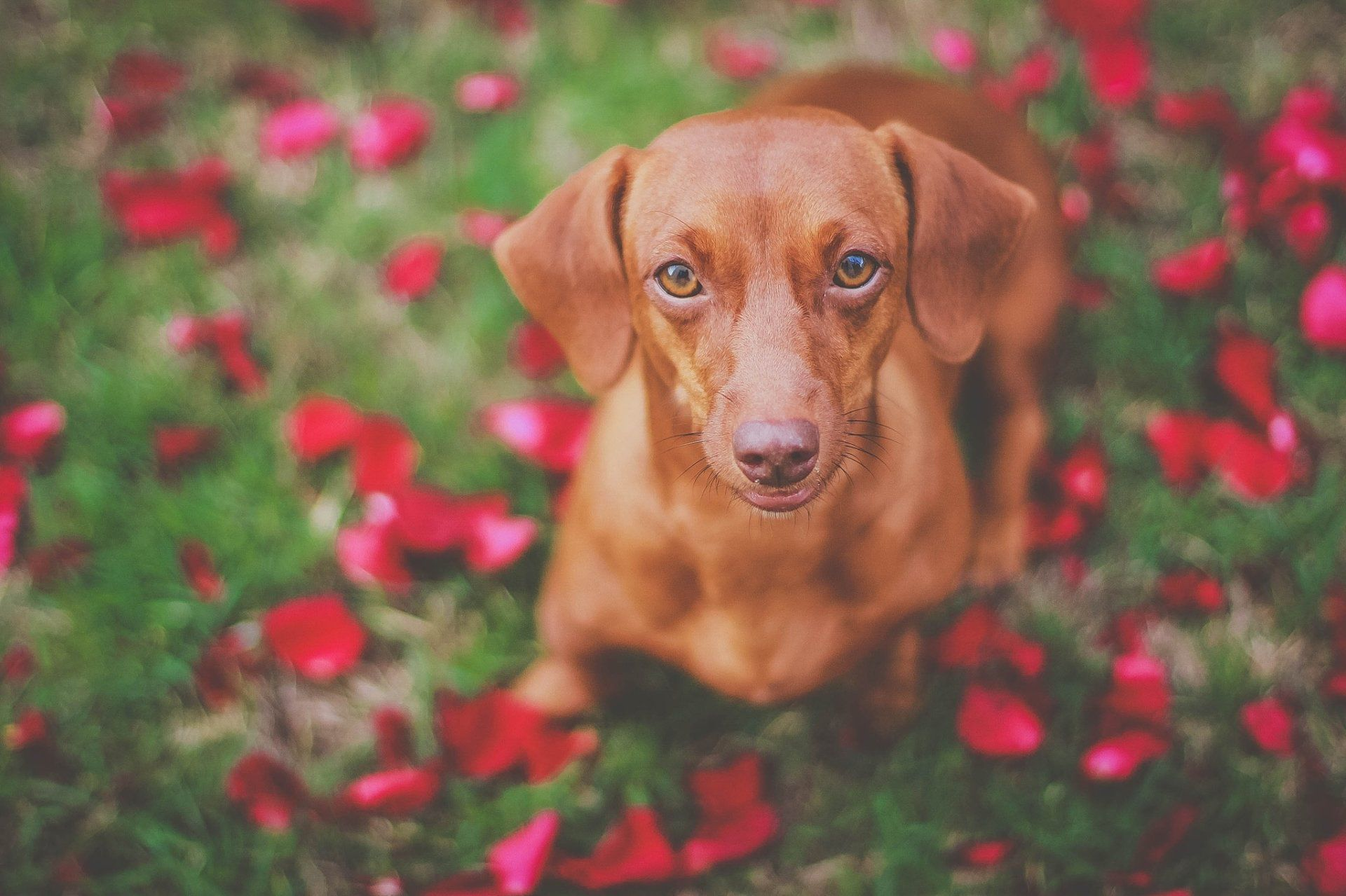 dachshund wallpapers backgrounds