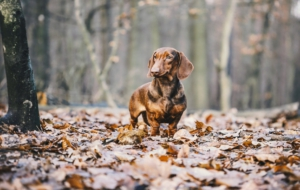 Dachshund Download